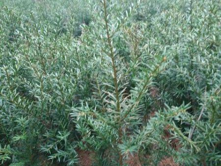 丹东红豆杉价格-想要实惠的红豆杉就来桓仁刘家苗圃