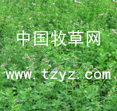 品质有保证的苜蓿除草剂 蓿草清黑麦草除草剂