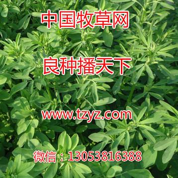 購買好的苜蓿除草劑當選周全農業-菊苣除草劑牧草除草劑