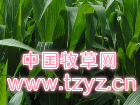 墨西哥玉米的種植技巧?