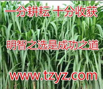 适合湖北种植的牧草紫花苜蓿_供应蓝月亮苜蓿种子王草健宝牧草
